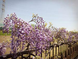 会社裏の藤の花、とてもきれいに咲いています。
